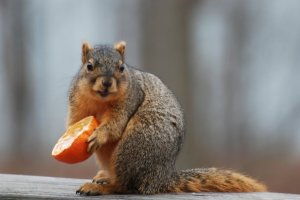 squirrel with orange